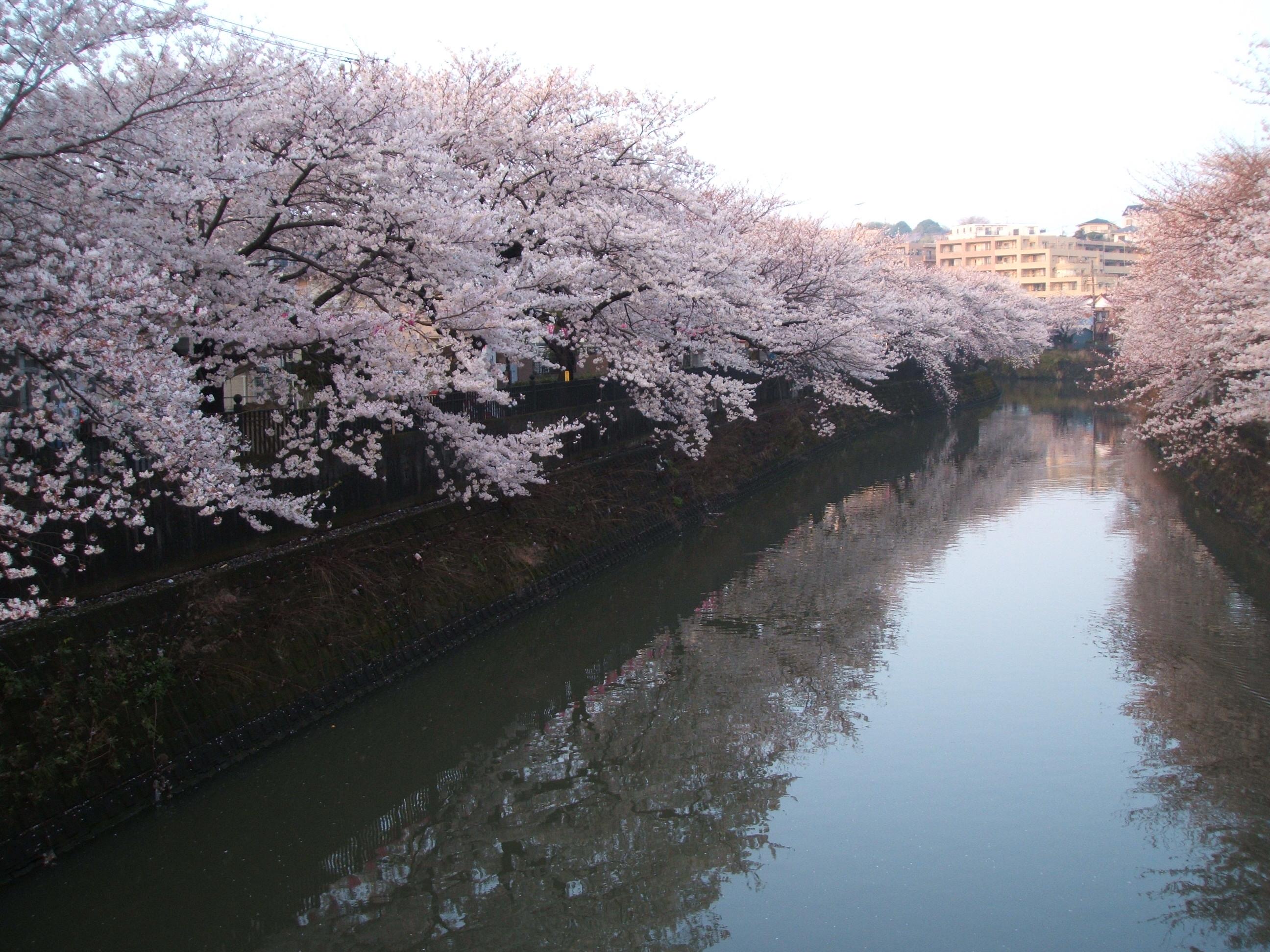 弘明寺から見た大岡川の桜