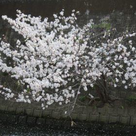 大岡川のど根性桜
