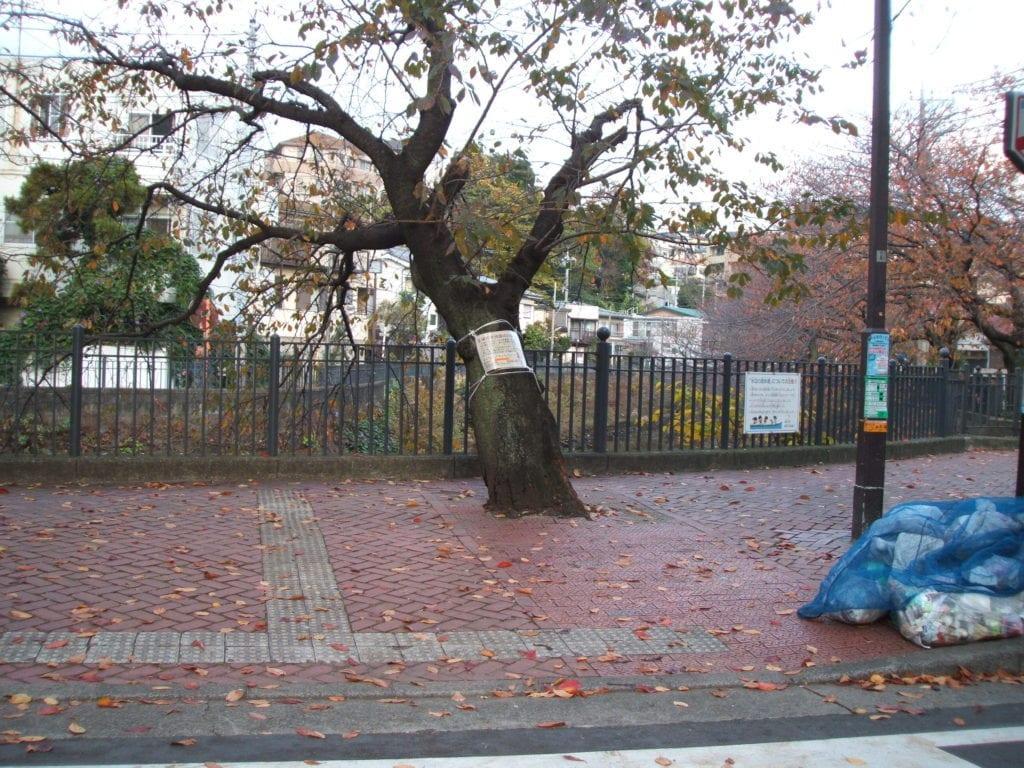 伐採された大岡川の桜